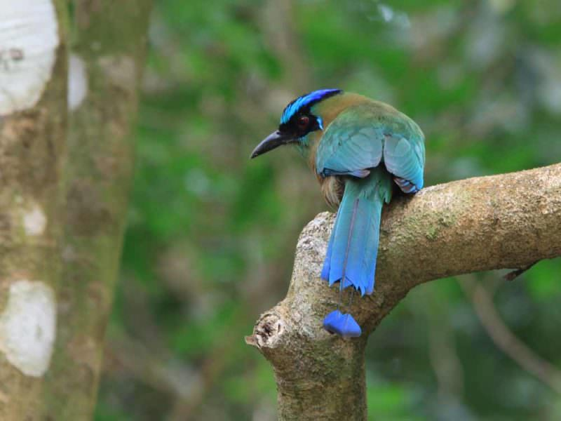 Blue-crowned Motmot © M O'Dell