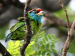 Blue-throated Barbet © P Lobo