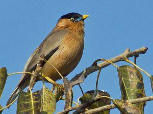 Brahminy Starling © T Lawson