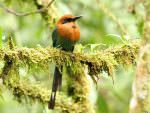 Broad-billed Motmot © M O'Dell