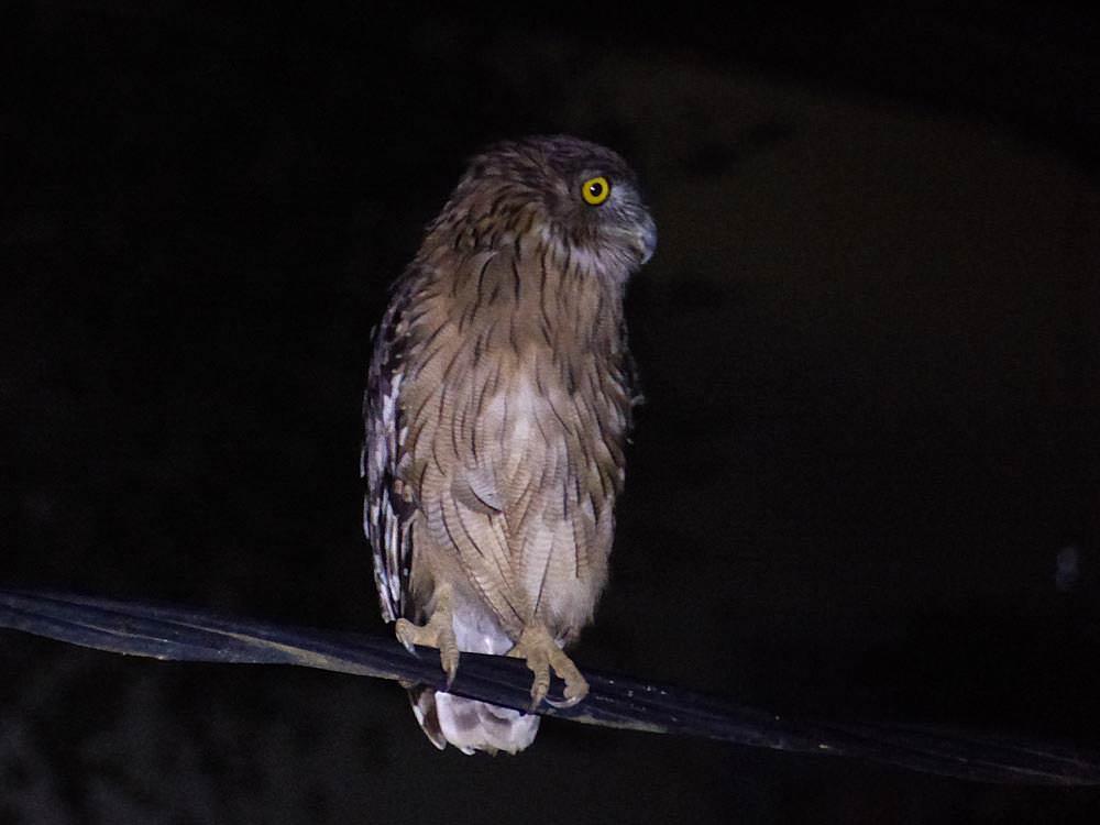 Brown Fish Owl © J Thomas