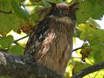 Brown Fish Owl © K Barnes