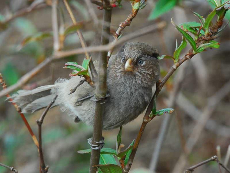 Brown Parrotbill © J Glover