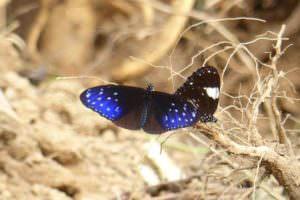 Butterflies taken Panbari © J Thomas
