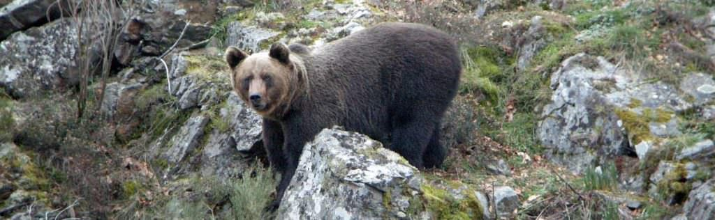 Cantabrian Brown Bear © I Reyero