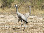 Common Cranes © D Bryan