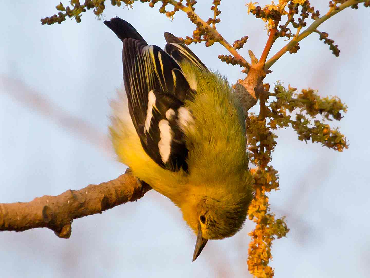 Common Iora © T Lawson