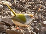 Common Tailorbird © T Lawson
