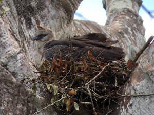 Crested Eagle © Jenn Sinasac