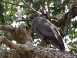 Crested Serpent Eagle © M O'Dell