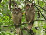Crested Owls © M O'Dell