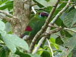 Crimson-rumped Toucanet © D Bridges