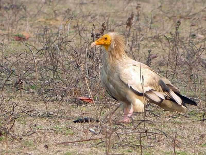 Egyptian Vulture © K Claydon