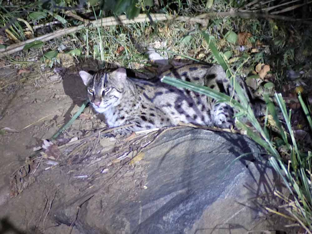 Fishing Cat on Sri Lanka mammal watching tour