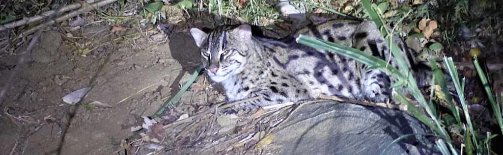 Fishing Cat on Sri Lanka mammal watching tour