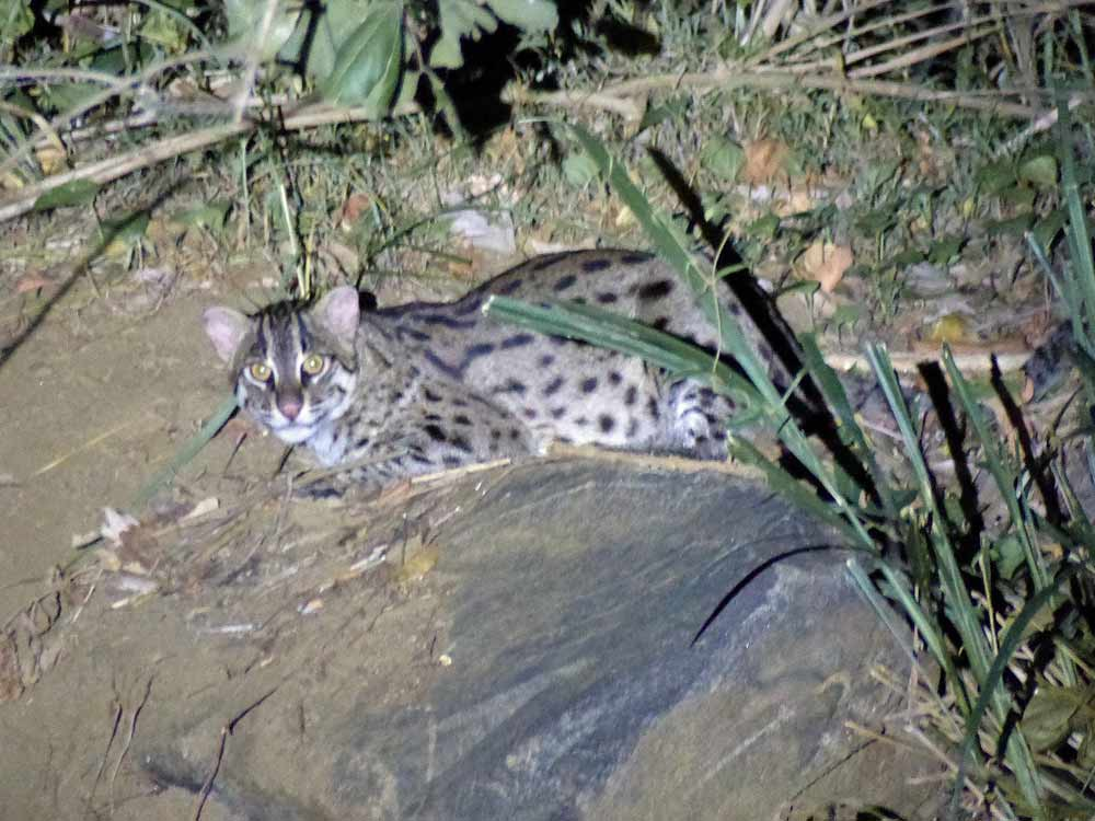 Fishing Cat on a mammal watching tour