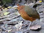 Giant Antpitta © J S Bridges