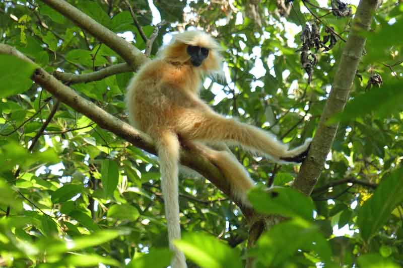 Golden Langur © J Thomas