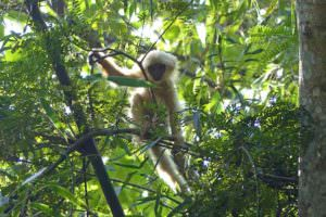 Golden Langur youngster © I Smith