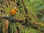 Golden Tanager © K Barnes