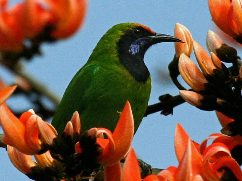 Golden-fronted Leafbird © K Barnes