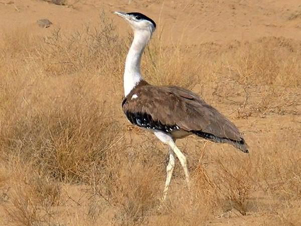 Great Indian Bustard © P Vashistha