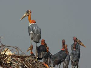 Greater Adjutants, Guwahati rubbish dump © W Scott