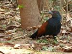 Greater Coucal © K Claydon