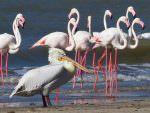 Greater Flamingo and Great White Pelican Modhva © T Lawson