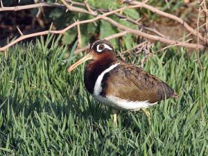 Greater Painted-snipe © C Bradshaw