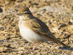 Greater Short-toed Lark © T Lawson