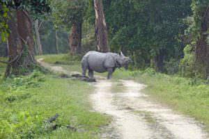 Greater One-horned Rhino and latrine, Kaziranga © J Thomas
