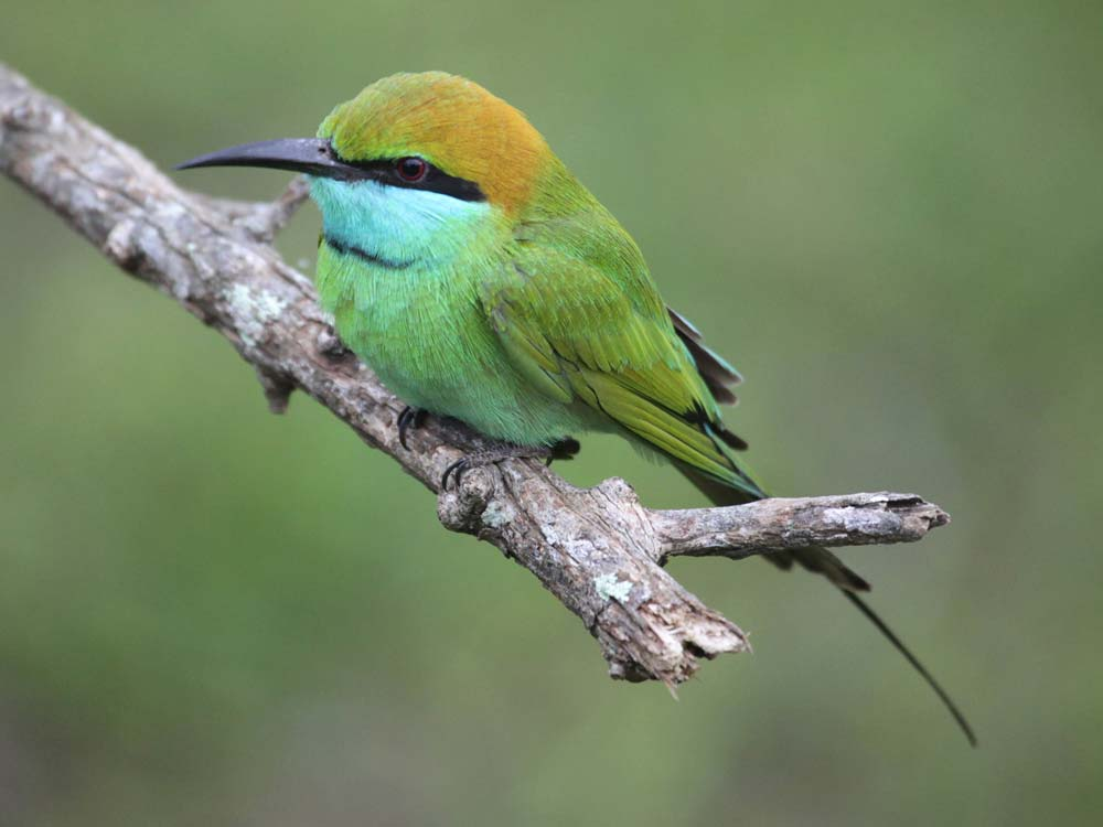 Green Bee-eater © M O'Dell