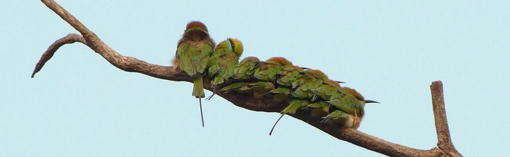Green Bee-eaters © K Claydon