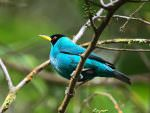 Green Honeycreeper © J Badley