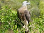 Grey-headed Fish Eagle © D Blakeley