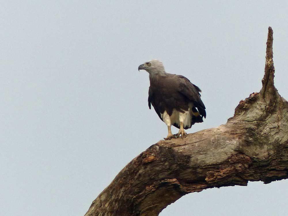 Grey-headed Fish Eagle © E Wakely