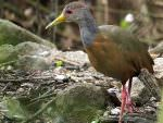 Grey-necked Wood-Rail © J Badley
