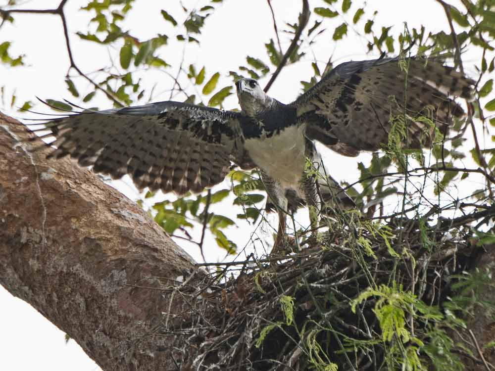 Canopy Camp, Darien, Birdwatching Tour (8 days) P126 - Wild About Travel