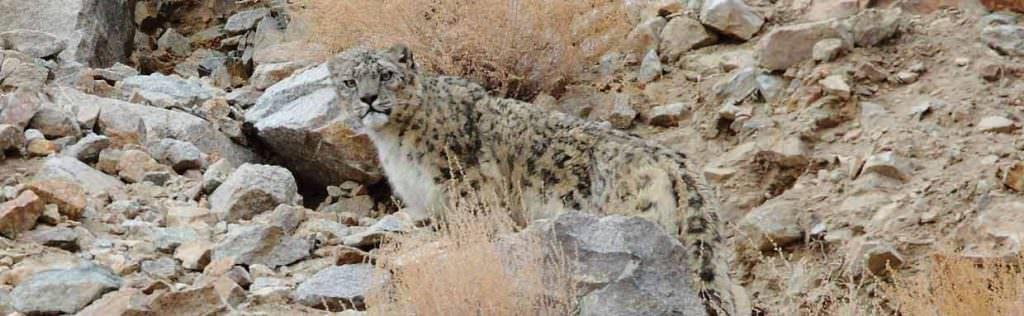 Snow Leopard in Ladakh © N Robinson