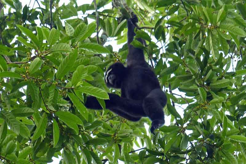 Hoolock Gibbon male © J Thomas
