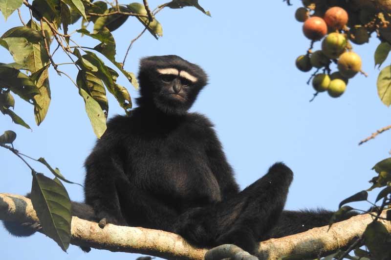 Hoolock Gibbon male © A Rahman