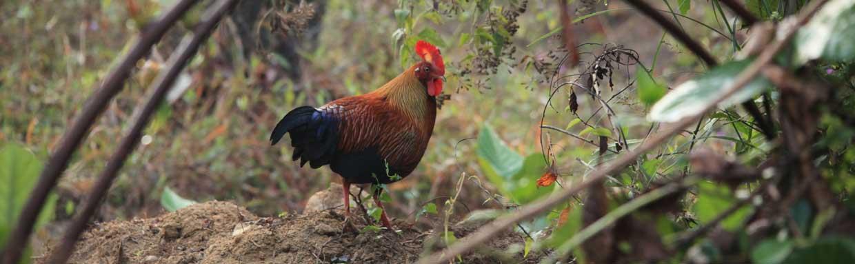 Sri Lanka Junglefowl © M O'Dell