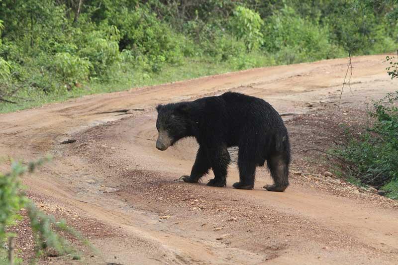 Sloth Bear © Steve P. Dudley