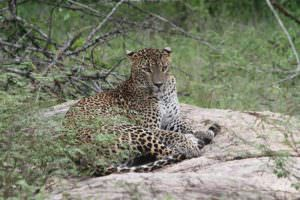 Leopard © Steve P. Dudley