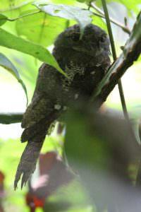 Sri Lanka Frogmouth © Steve P. Dudley