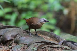 Ashy-headed Laughingthrush © Steve P. Dudley