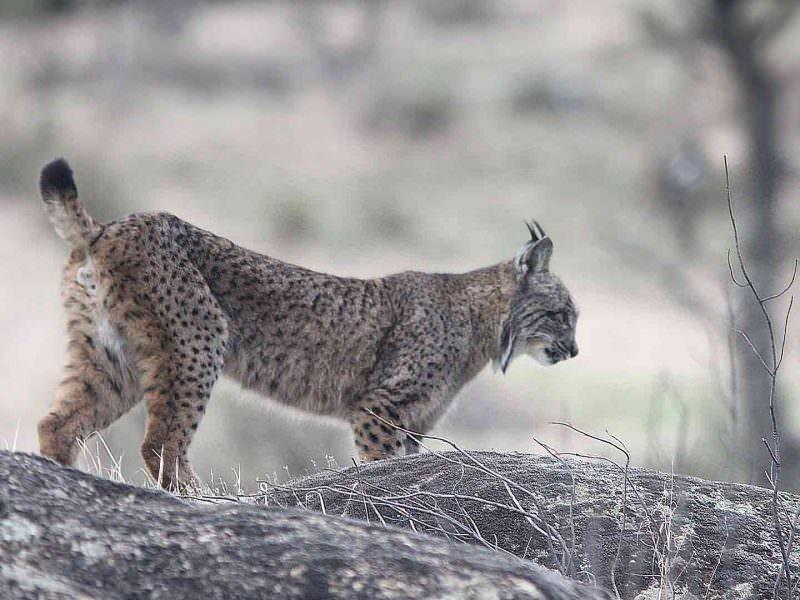Iberian Lynx La Lancha © H Moore