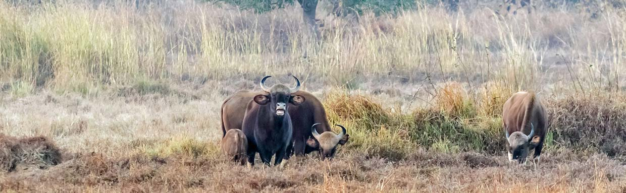 Indian Bison (Gaur) © P Clarke