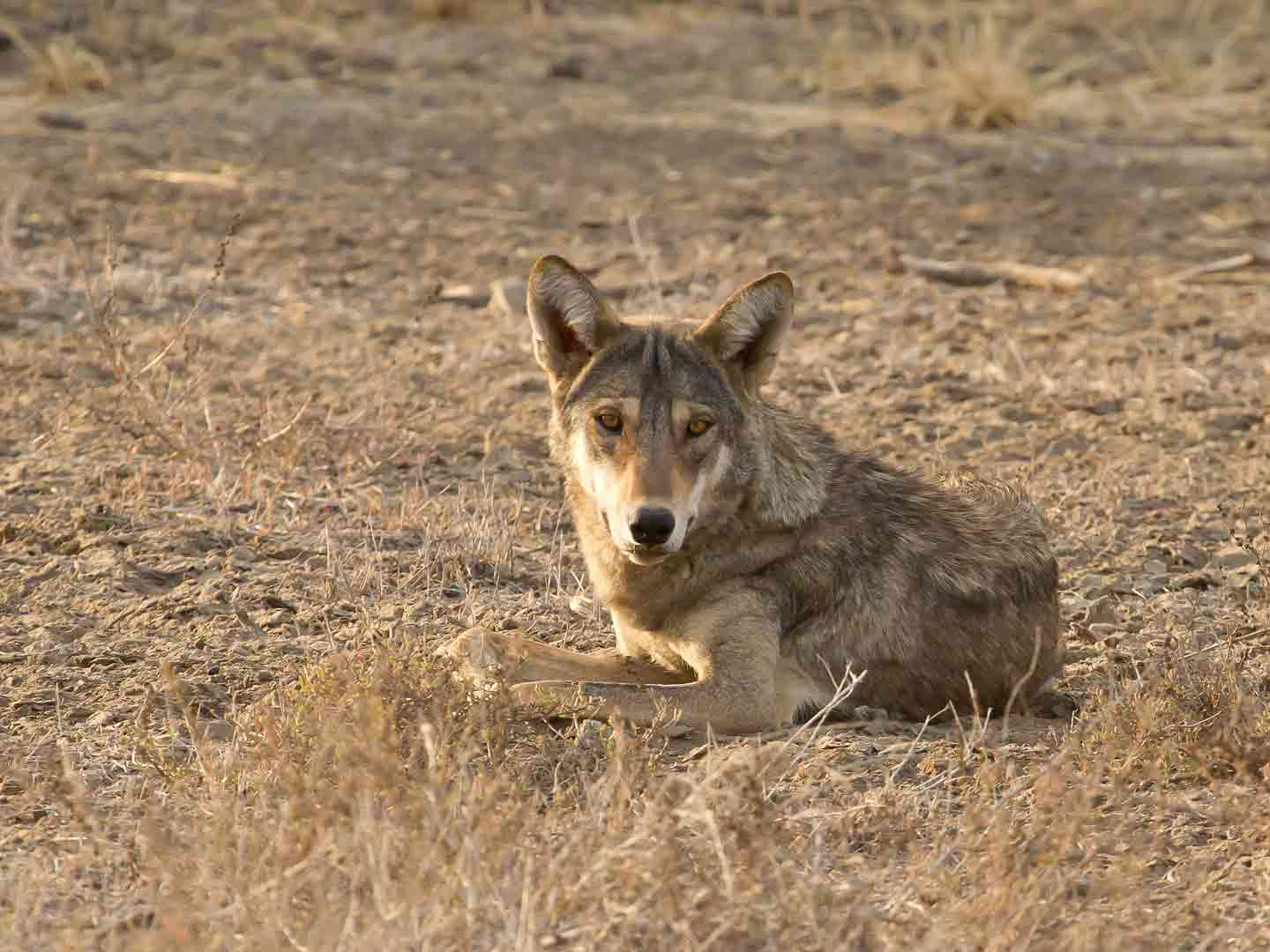 Indian Grey Wolf, Velavadar National Park © T Lawson